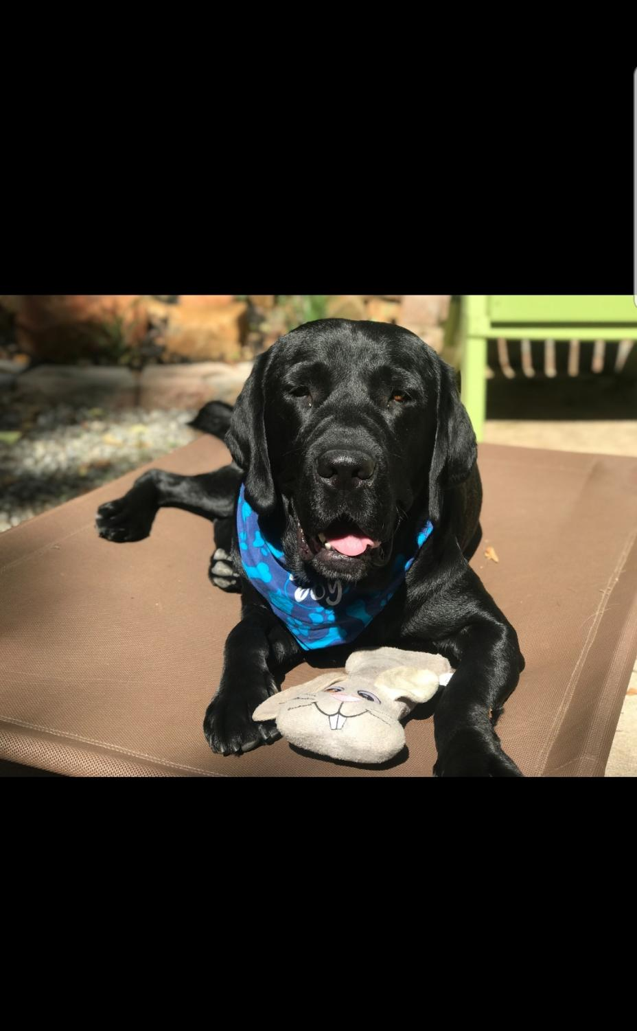 Service Dogs are made to work, however each day they have plenty of time to play around and still be dogs.